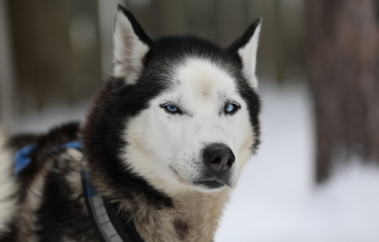 A front view of a concentrated sled dog