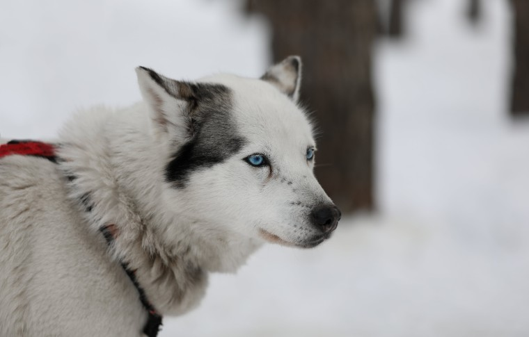 A side profile and a sled dog