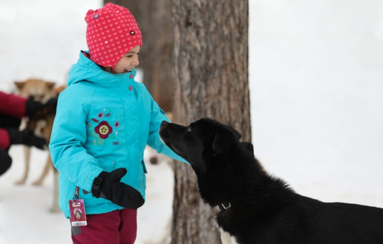 A young girl petting a black sled dog