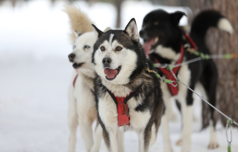 Group of sled dogs ready to take off
