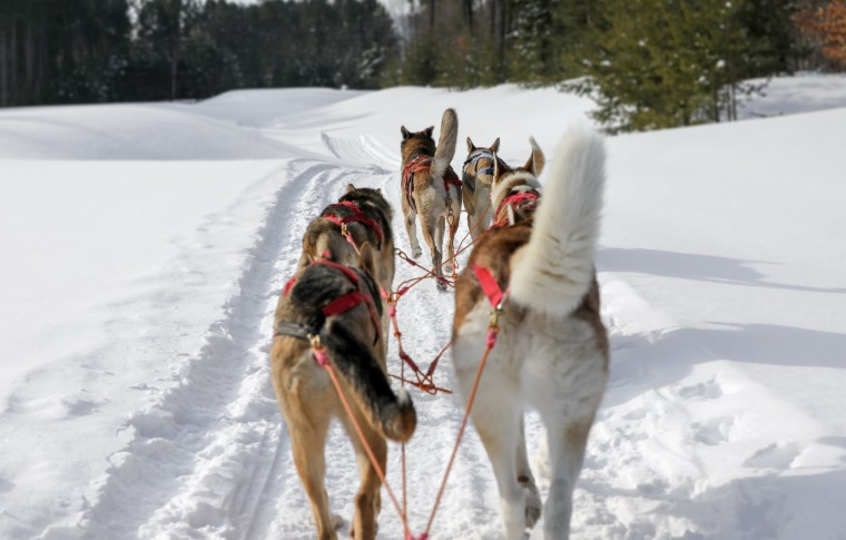 A perspective view from right behing of the sled dogs pullliing the sled