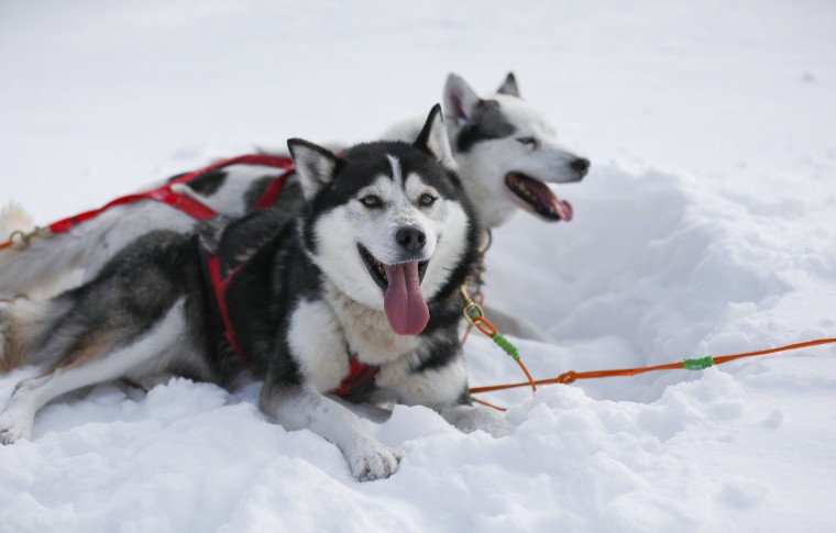 Two sled dogs happily lying in the snow